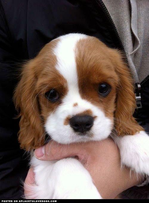 dog,cavalier king charles spaniel,mammal,vertebrate,dog breed,