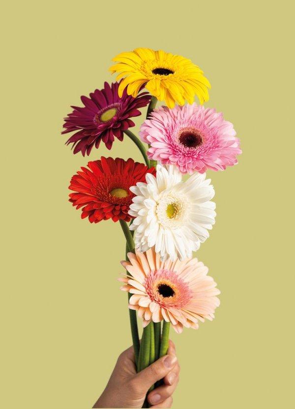 Flower, Flowering plant, barberton daisy, Flower Arranging, Gerbera,