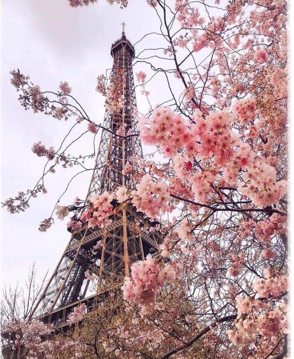 Flower, Blossom, Cherry blossom, Tree, Spring,