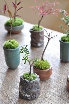 bonsai,plant,tree,houseplant,land plant,