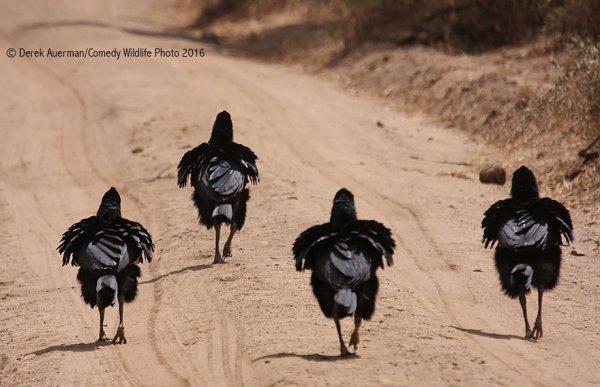 black, flightless bird, bird, ratite, ostrich,