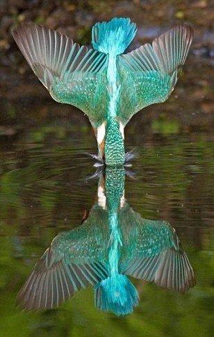 bird,peafowl,hummingbird,wing,perching bird,