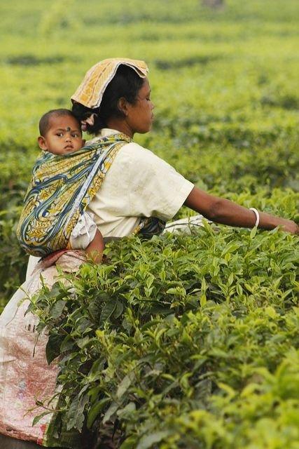 Tea Picker in Darjeeling