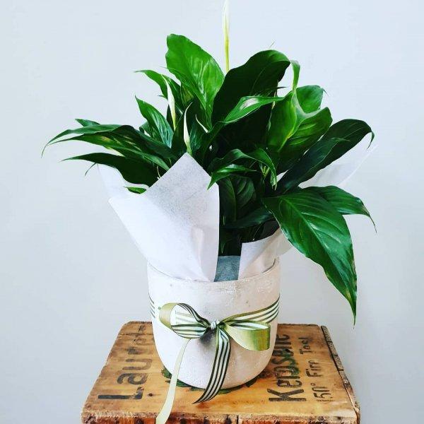 plant, flowerpot, leaf, vase, houseplant,
