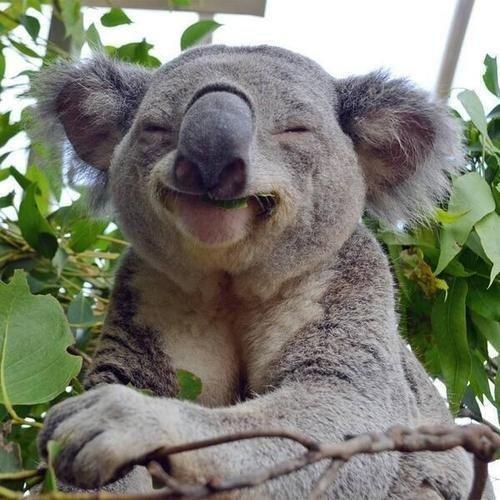 koala,mammal,marsupial,vertebrate,fauna,