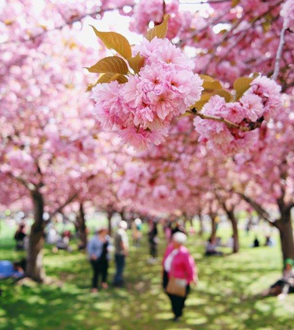 flower, cherry blossom, plant, blossom, food,