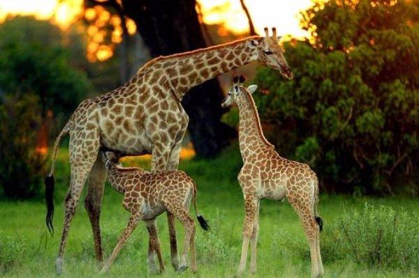 Go on a Safari in Botswana
