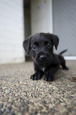 dog,mammal,black,vertebrate,dog breed,