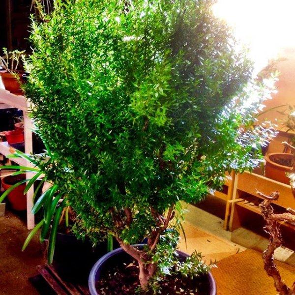 tree, plant, bonsai, houseplant, land plant,