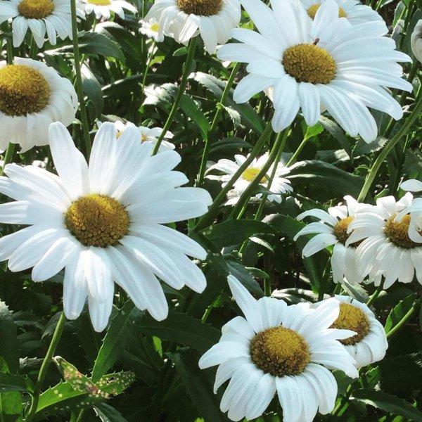 flower, oxeye daisy, daisy, plant, daisy family,