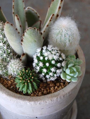 plant,cactus,flora,botany,hedgehog cactus,