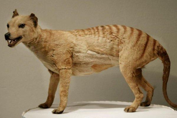 Does the Tasmanian Tiger Still Exist?