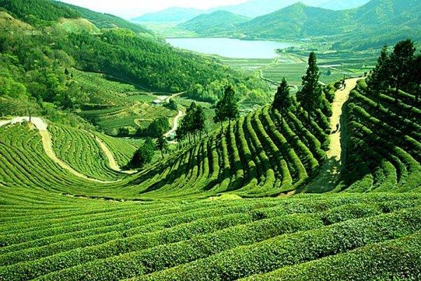 Tea Tour in Darjeeling