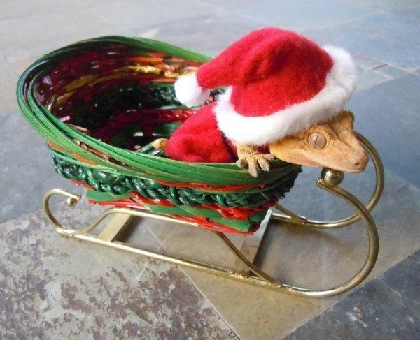 Lizard in a Santa Hat
