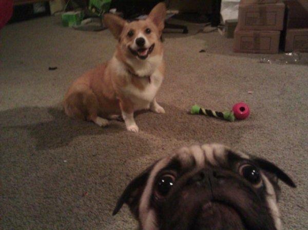 Corgi + Pug