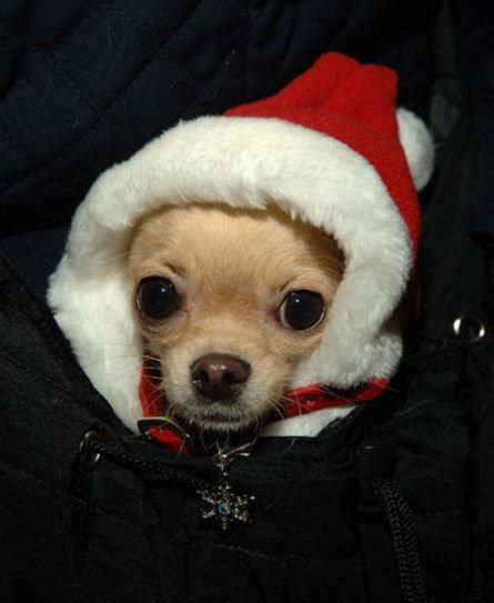 dog, dog like mammal, dog breed, vertebrate, puppy,