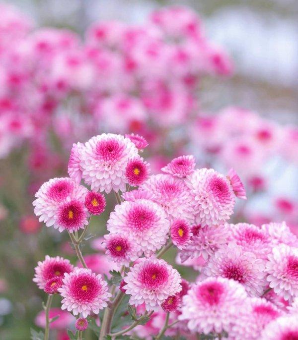 flower, pink, flowering plant, plant, flora,