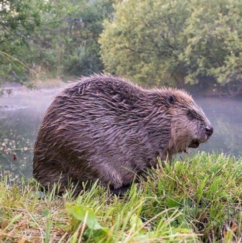 beaver, fauna, mammal, nature reserve, rodent,