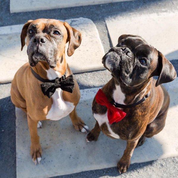 dog, dog breed, dog like mammal, boxer, snout,