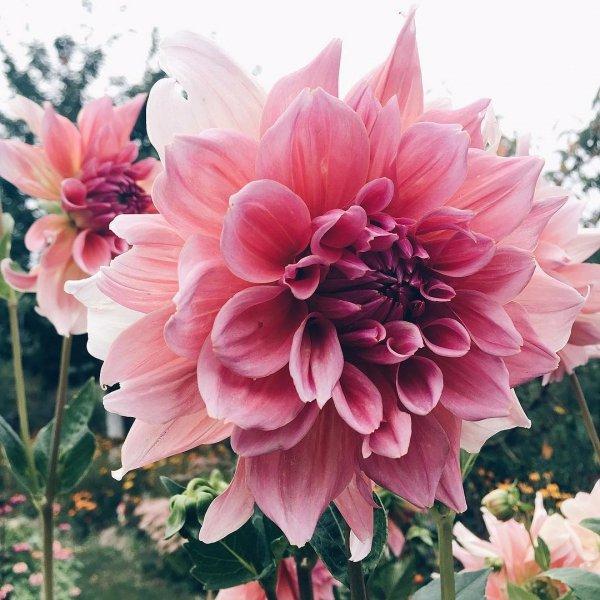 flower, dahlia, plant, pink, land plant,