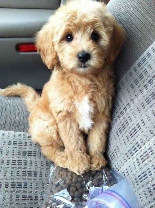 dog,mammal,vertebrate,dog breed,miniature poodle,