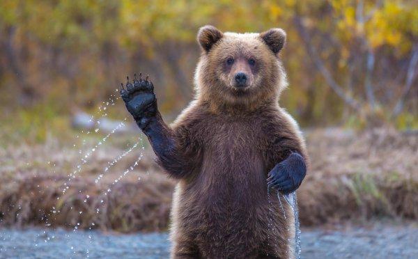 brown bear, grizzly bear, mammal, vertebrate, wildlife,