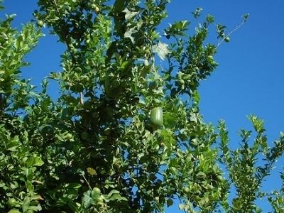 5 Tips on Growing Luffa Seeds