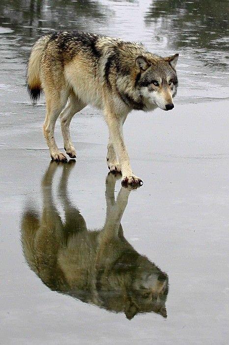 mammal,vertebrate,wolf,fauna,wildlife,