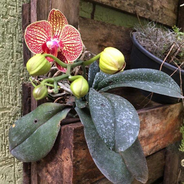 plant, flower, flora, flowering plant, moth orchid,