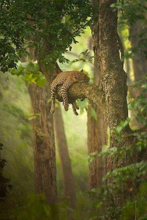 Sleeping Jaguar in the Amazon Brazil Heights