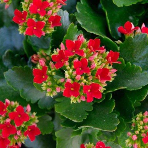 flower, plant, lantana camara, land plant, flowering plant,