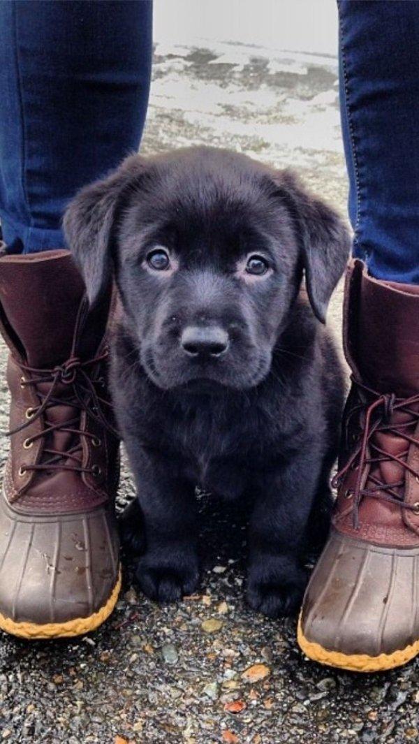 dog,labrador retriever,mammal,vertebrate,puppy,