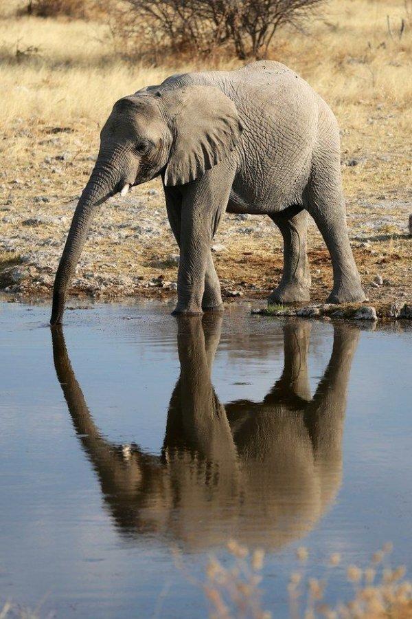 indian elephant,mammal,vertebrate,wildlife,elephant,