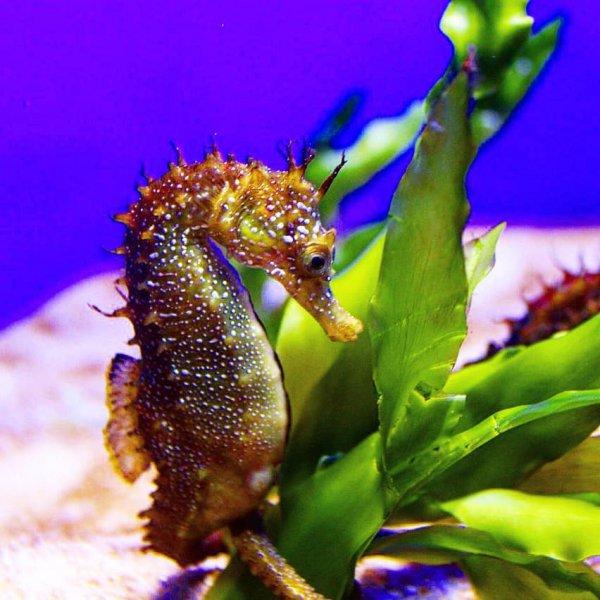 seahorse, syngnathiformes, fish, marine biology, organism,