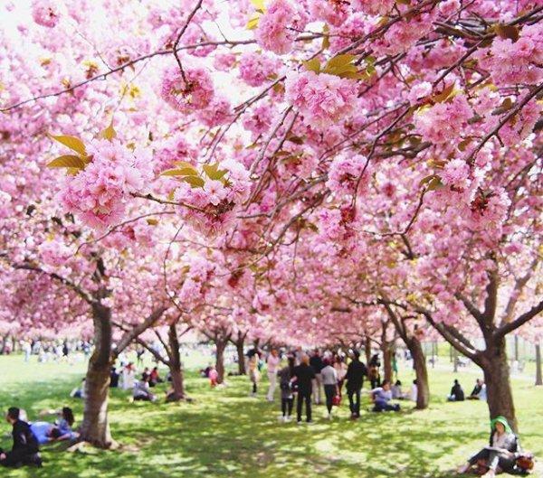 flower, plant, blossom, cherry blossom, pink,