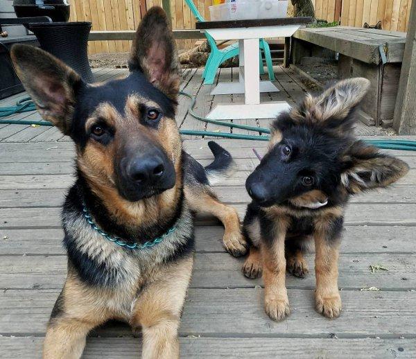 dog, dog breed, dog like mammal, kunming wolfdog, german shepherd dog,