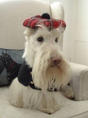 Very Handsome Scottish Terrier