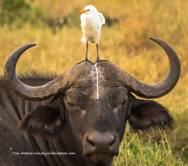 water buffalo, mammal, vertebrate, wildlife, fauna,