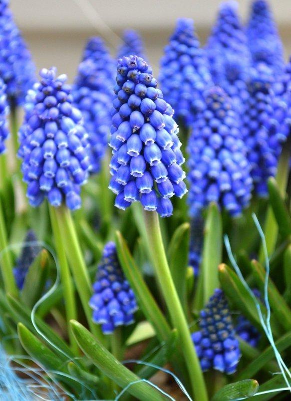 blue, flower, plant, hyacinth, spring,