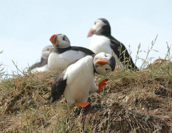 puffin, bird, beak, vertebrate, fauna,