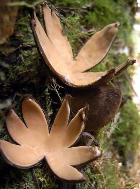 Star-shaped Mushroom