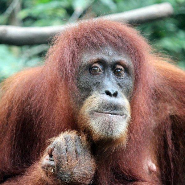 orangutan, great ape, mammal, primate, fauna,