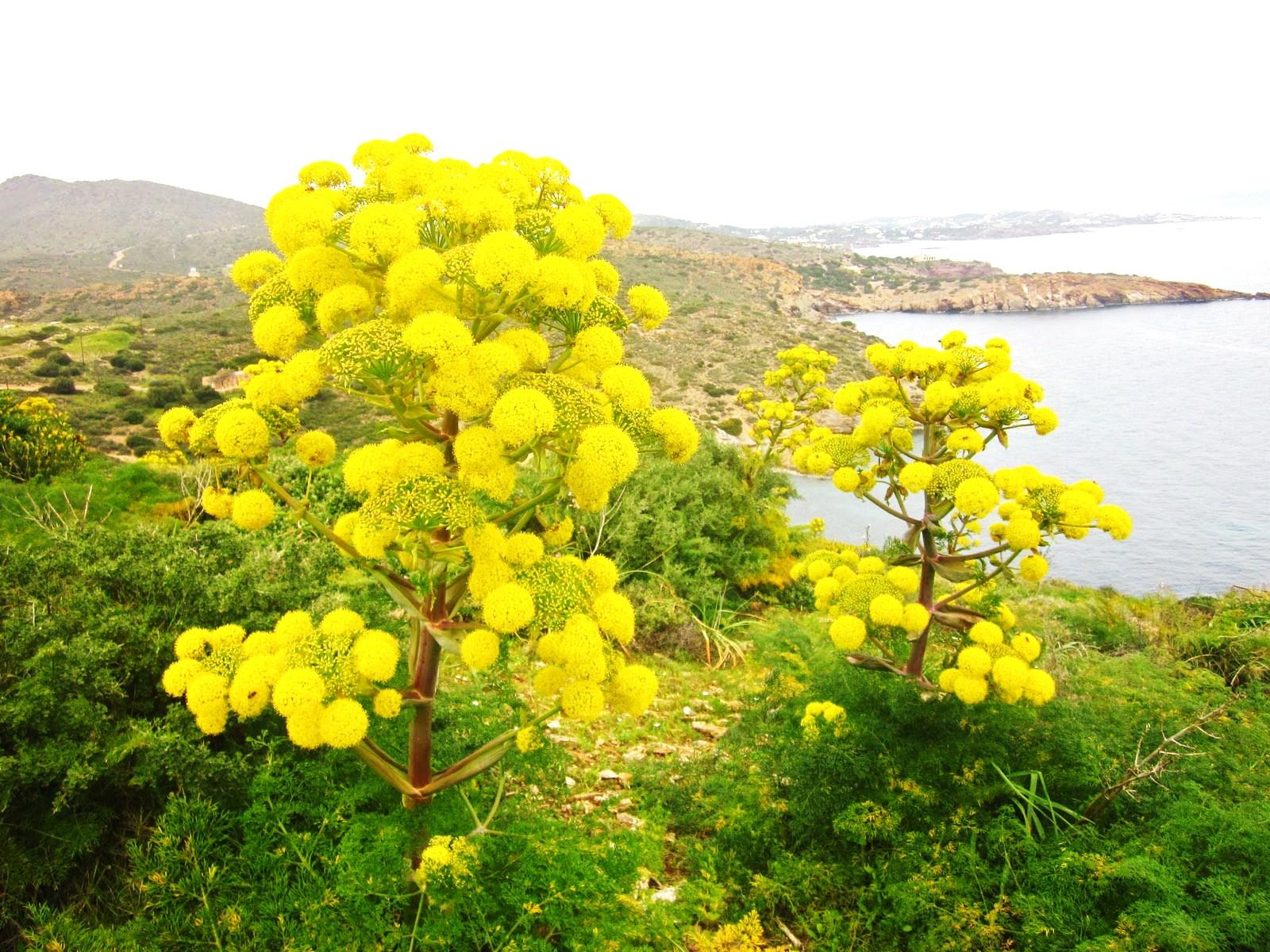 Cyprus (Wildflowers)