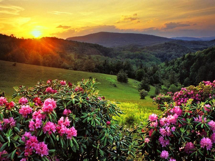 North Carolina (Rhododendrons)
