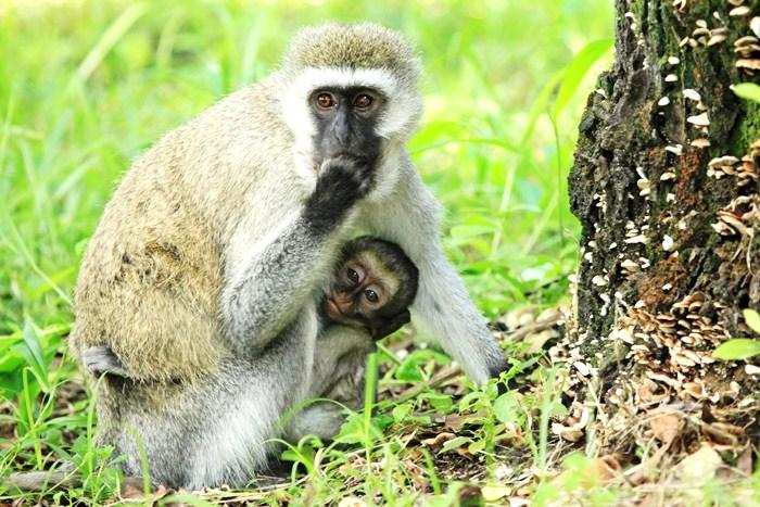 The Vervet Monkey Foundation, South Africa