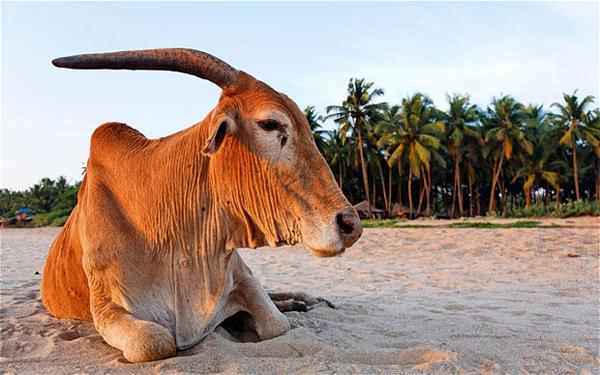 Cow Beach, Goa, India