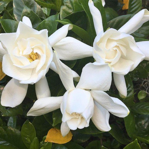 flower, plant, white, gardenia, flowering plant,