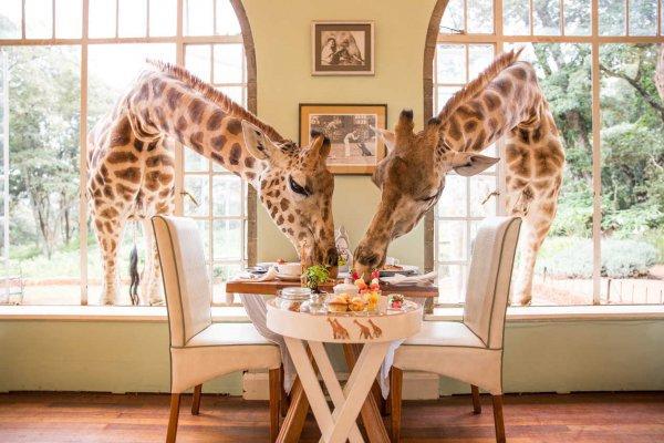 giraffe, giraffidae, mammal, wildlife, window,