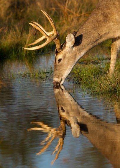 mammal,deer,fauna,wildlife,white tailed deer,