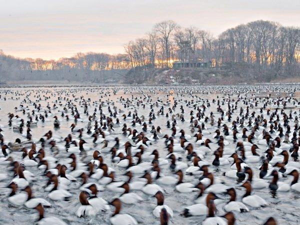 Canvasback Ducks by Paul Bramble